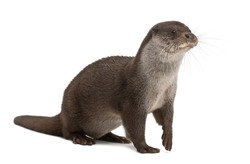 European Otter, Lutra lutra, 6 years old, against white background