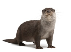 European Otter, Lutra lutra, 6 years old, portrait standing against white background
