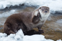 European otter on a frozen stream holding a piece of wood like a phone