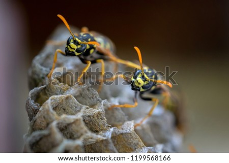 European paper wasp in the nest