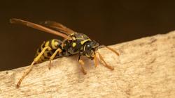 European paper wasp (lat. Polistes gallicus)