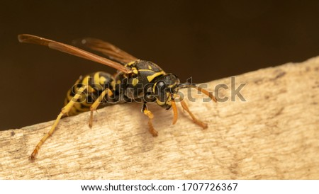 Photo of  European paper wasp (lat. Polistes gallicus)