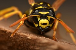 European paper wasp, Polistes dominula, is one of the most common and well-known species of social wasps