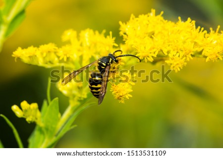 European paper wasp, probably Polistes dominulus, on goldenrod at The Fells in Newbury, New Hampshire. #1513531109
