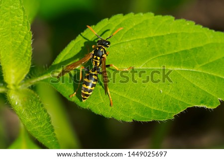European Paper Wasp resting on a green leaf. Also known as a Yellowjacket. Taylor Creek Park, Toronto, Ontario, Canada. #1449025697