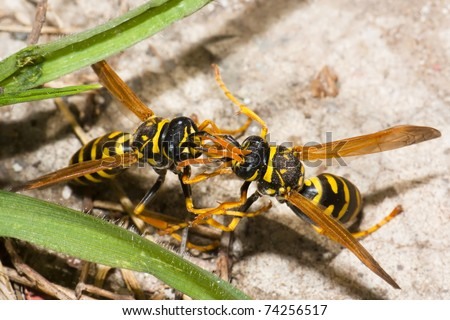 European paper wasps or Polistes dominula fighting