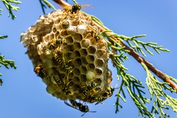 European paper wasps (Polistes dominula) taking care of their nest. The nests of most true paper wasps are characterized by having open combs with cells for brood rearing.