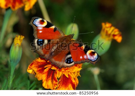 European peacock butterfly (Inachis io) on a flower