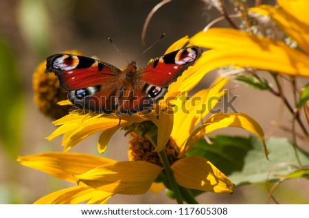 European Peacock butterfly (Inachis io) perch on a yellow Rudbeckia flower
