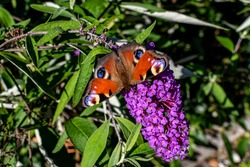 European peacock butterly sitting on a purple summer lilac