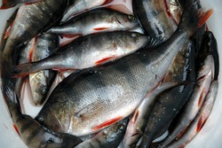 European Perch fish, perca fluviatilis, fresh water perch caught in Finland