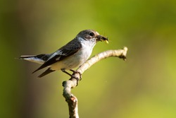 European pied flycatcher, ficedula hypoleuca, hunting insect in the spring atmosphere. Bird showing breeding behaviour. Small bird with insect in the beak. Bright photo of bird sitting with its food.