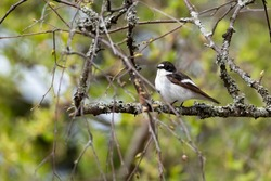 European pied flycatcher (Ficedula hypoleuca) sitting on a birch branch on the verdant grove in Finland.