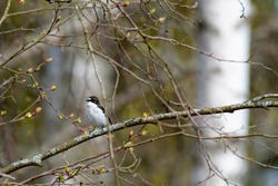 European pied flycatcher (Ficedula hypoleuca) sitting on a birch branch on the verdant grove in Finland.