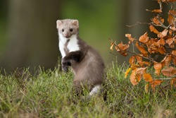 European pine marten (Martes martes), known most commonly as the pine marten in Anglophone Europe, and less commonly also known as pineten, baum marten, or sweet marten