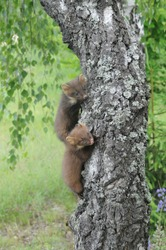 European pine marten (Martes martes) playing and posing on camera