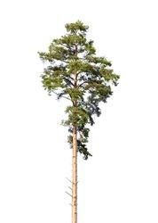 European pine tree isolated on white background