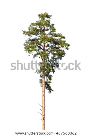 European pine tree isolated on white background #487568362