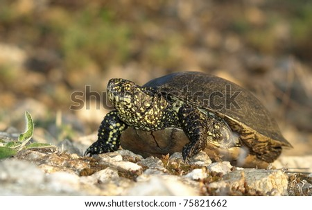 European Pond Terrapin, Emis orbicularis