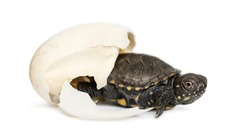European pond turtle, Emys orbicularis, next to the egg from which he hatched out, 2 days
