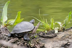 European pond turtle on a river. Turtle river