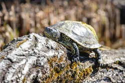 European pond turtle sunbathing on the mossy log. European pond terrapin or tortoise (Emys orbicularis) with glossy carapace and yellow spots on skin.