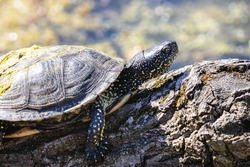 European pond turtle sunbathing on the mossy log. European pond terrapin or tortoise with yellow spots on skin and with dry sludge on the carapace.