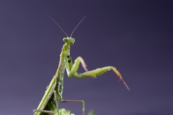 European Praying Mantis female or Mantis religiosa close up against dark background. Large predatory insect