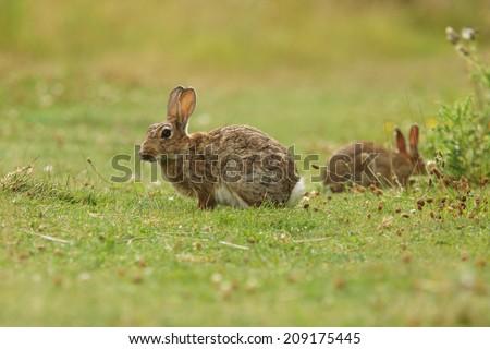 European rabbit, Common rabbit, Bunny, Oryctolagus cuniculus