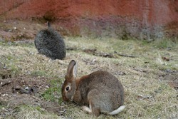European rabbit in lateral or side view, another one in the background. In Latin they are called Oryctolagus cuniculus and they live in captivity, in an enclosure. There is a lot of copy space.