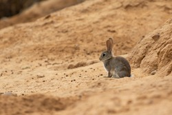 European rabbit or common rabbit (Oryctolagus cuniculus) resting in the sun on top of the sand