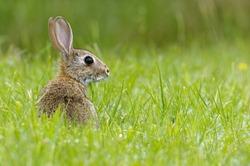 European Rabbit (Oryctolagus cuniculus) Juvenile in field of grass,portrait.