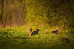 European rabbit - Oryctolagus cuniculus on a meadow