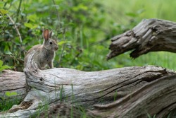 European rabbit (Oryctolagus cuniculus) sitting on log in woods, London, United Kingdom