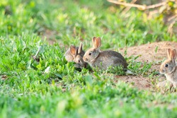 European rabbit (Oryctolagus cuniculus), small rabbits eating in the meadow. Spain