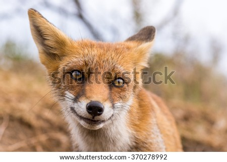 European red fox