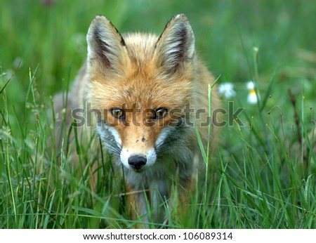 European red fox - Vulpes vulpes