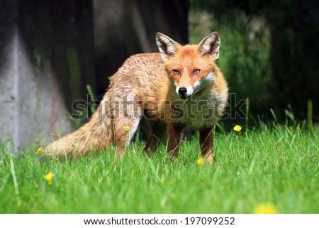 European Red Fox (Vulpes vulpes) Vixen ストックフォト ©
