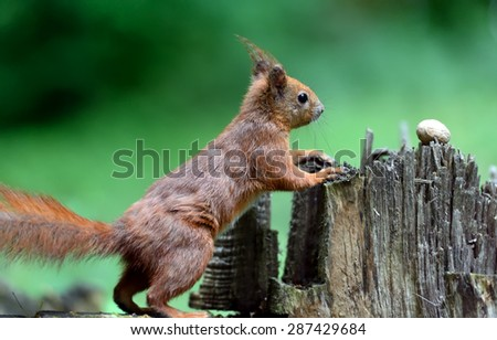 European red squirrel in the woods in spring