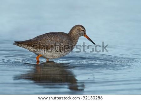 European redshank in water