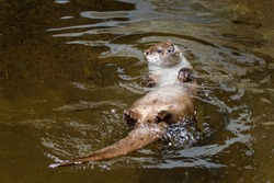 European river otter, Lutra lutra, swimming on back in clear water. Adorable fur coat animal with long tail. Endangered fish predator in nature. Wild animal in brook. Habitat Europe, Asia.