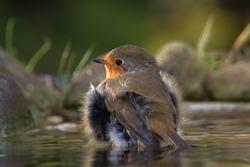 European robin (Erithacus rubecula) bathes. Czechia. Europe.
