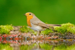 European Robin, Erithacus rubecula in the water, nice mossy tree branch, bird in the nature habitat, Germany. Orange songbird with mirror reflection in water surface.