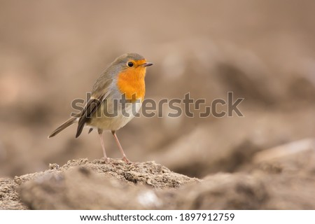 European robin (Erithacus rubecula) or robin redbreast, insectivorous passerine bird, Old World flycatcher with orange breast with grey brown upper-parts, Muscicapidae family Zdjęcia stock ©