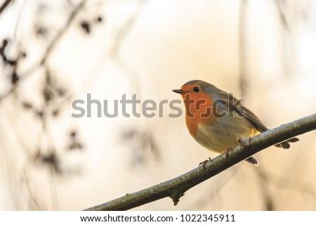 European robin (Erithacus rubecula) singing in sun rays sunlight during Fall season.