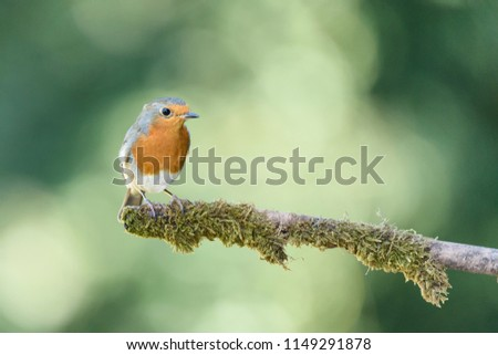 European Robin, Erithacus rubecula,sitting on a small branch in woodland looking right