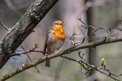 European robin (Erithacus rubecula) tweeting on a tree branch in garden.