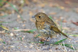 European Robin, (Erithacus rubecula), young juvenile bird, stands on ground in garden in Ireland. Red orange breast color appears after first moult. Side view, blurred background, copy space