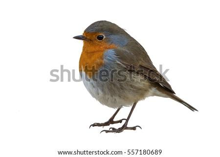 European robin isolated on white background