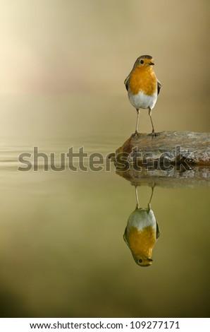 European Robin male (Erithacus rubecula) pond reflex, Alicante, Spain,Europe